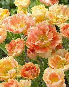 Peony Flowering Tulip 'Charming Beauty' (Tulipa)