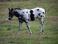 Interesting spots on this appaloosa foal