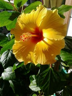 a1b10c0d5ca Hibiscus, Most Beautiful, Yellow, Flowers, Plants, Color, Garden, Exotic
