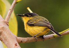 Foto ferreirinho-relógio (Todirostrum cinereum) por Anelisa Magalhães | Wiki Aves - A Enciclopédia das Aves do Brasil
