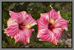 Hibiscus Candy | Flickr - Photo Sharing!