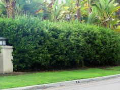 PRIVET-- hedge, deep infrequent watering in heat of summer .  Texas grows to 8-10 feet, whereas Japanese or wax leaf privet reaches 20 ft. Buy at Evergreen Nursery in El Cajon 9708 Flinn Springs Road.  More info at http://www.dailynews.com/lifestyle/20110610/joshua-siskin-california-privet-a-good-option-if-youre-interested-in-a-hedge
