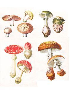 Mushroom Botanical Print, a printable vintage illustration from ArtDeco on Etsy, a good source for digital images.