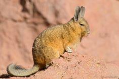 Vizcacha. Lagidium viscacia. Mountain Viscacha   by Daniel Sziklai G.
