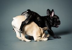 Leap frogging frenchies
