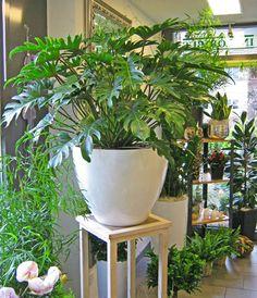 Philodendron (Xanadu?) and other plants at INFLORIBUS Blumengeschäft, Theres Prassl, Illnau