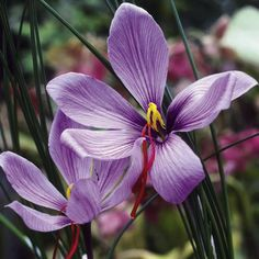 Saffron Crocus Bulbs - Suttons Seeds and Plants