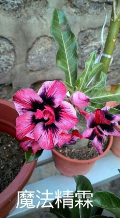 Adenium hybrid, Desert Rose