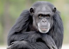 A chimpanzee rests on a post inside an enclosure at Chimp Haven in Keithville, La., March 7, 2012.