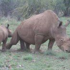 Here is a collection of my Rhino photos, good and bad shots. Sorry, all are not competition quality, but just for the record. The white rhinoceros is the second largest land mammal in the world, af…