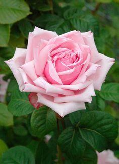 ~Rose La France.