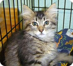 Las Cruces, NM - Domestic Longhair. Meet Silver, a kitten for adoption. http://www.adoptapet.com/pet/12968982-las-cruces-new-mexico-kitten