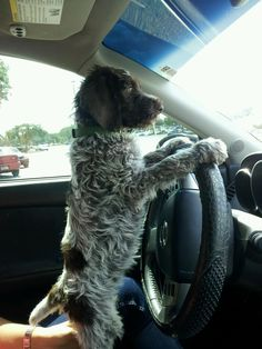 Wirehaired Pointing Griffon. They watch and learn. Even if they beg, don't give them the car keys!
