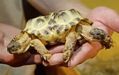 Polycephaly: Most commonly seen in turtles