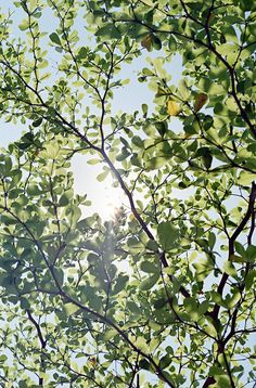oak branches in the sunlight