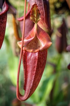 Nepenthes eymae X jacquelineae