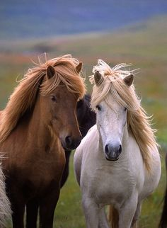 Icelandic Horse, horses, heste, animal, beautiful, photograph, photo