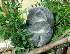 Sleeping Koala by Barbara Letsom