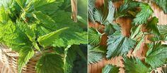 Sok z pokrzywy (przepis poniżej) to niezwykły eliksir dla zdrowia i urody. Cudowne właściwości pokrzyw tkwią w jej odtruwającym... Medicinal Herbs, Smoothies, Herbalism, Plant Leaves, Healthy, Plants, Smoothie, Herbal Medicine, Plant