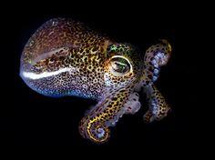 The Bobtail squid