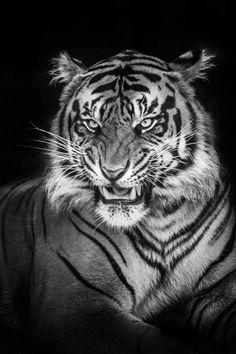 tiger. black and white picture of a tiger.