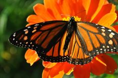 Monarch Butterfly Insect Totem Keywords New life, power, capabilities, breezy, change, metamorphosis, new cycle, glorious, flow, clairvoyance.