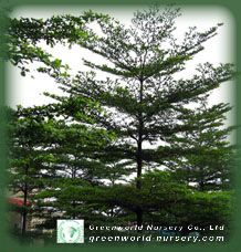 we are Terminalia mantaly growers, Terminalia mantaly suppliers and exporter, all size Terminalia mantaly available for order Landscaping, Trees, Plants, Image, Tree Structure, Planters, Landscape Architecture, Wood, Garden Design