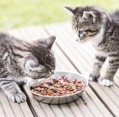 Ganz ohne Nebenwirkungen: Zur Prophylaxe gegen Darmparasiten bei Katzen kann biologisch einwandfreies Kokosöl angewendet werden. Das auserlesene Kokosfett wirkt im Darm antibakteriell, wurmabtreibend und kann Würmer sogar ganz abtöten.