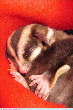 Sleepy Sugar Glider!