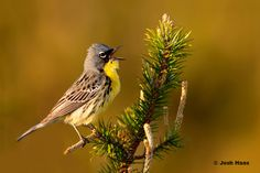 Did you know the Kirtland's Warbler is noted for its extremely limited range. During the breeding season it is confined to dense stands of young jack pines that spring up after forest fires. Pine Branch, Endangered Species, Habitats, Michigan, Bird, Nature, Singing, Range, Animals