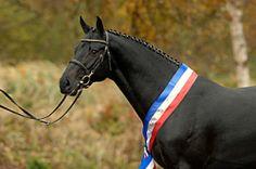 Diarado Stallion | 01-01-2005 | Holstein | black | 1m66
