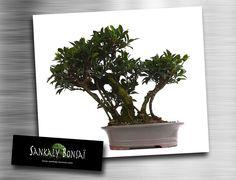 NOUVEAUTE Superbe Exemplaire unique très rare Bonsai Ficus Retusa.  Taille imposante 47 cm de hauteur sur 52 cm d'envergure. Disponible à la vente chez www.sankaly-bonsai.com  http://www.sankaly-bonsai.com/achat-vente-acheter-bonsai-interieur-sankaly-bonsai/3151-vente-de-bonsai-ficus-retusa-47-cm-sankaly-bonsai-fr140905.html