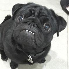 A pug's smile