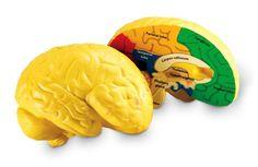 Brain Cross-Section Model | Main photo (Cover)