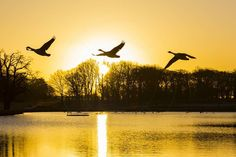 Canada geese (Branta canadensis) flying over a Pen Ponds Sunrise Richmond Park London Borough of Richmond upon Thames England United Kingdom www.alamy.com/image-details-popup.asp?ARef=G0N9T8 marketplace.500px.com/photos/153904747 #animal #beauty #bird #birds #canadian #color #environment #flock #flying #geese #goose #lake #landscape #landscapes #nature #orange #outdoors #pond #reflection #scenic #silhouette #sky #sun #sunlight #sunrise #tranquil #tree #water #waterfowl #wildlife