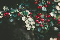 Branch with Red Berries Nature