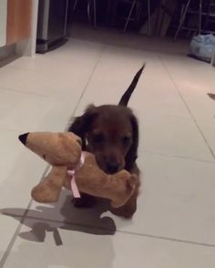 How cute was baby Kingsley? 💙 #PuppyLove #TeddyIsBiggerThanMe #SausageDogCentral @kingkingsley__