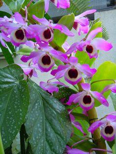 orchids, US Botanic Garden  Conservatory