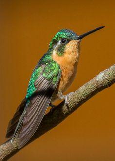 White-throated Mountain Gem (Lampornis castaneoventris). A hummingbird of Panama. photo: Jim Scarff.