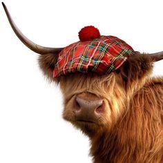 Scottish highland cattle always makes me smile. Cute Baby Cow, Baby Cows, Cute Cows, Cute Babies, Highland Cow Art, Scottish Highland Cow, Highland Cattle, Highland Games, Scottish Highlands