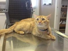 Buster Keaton is an adoptable Tabby - Orange Cat in Nashville, TN. 12-2-12 Hi Everyone I'm Buster Keaton! I sure am a handsome young fellow and it is quite certain I am going to be a long hair by the ...