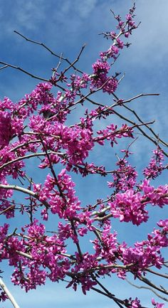 Star Nursery is the complete Garden Center that is independently owned and operated. Judas Tree, Star Nursery, Flowering Trees, Flora, Iphone, Garden, Plants, Photography, Garten