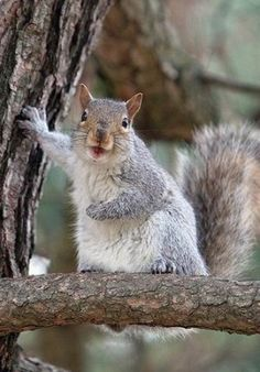 Little red squirrels have to do with half the dimension of grey squirrels. These tiny tree squirrels have hair that is gray-red in the winter months and also orange-red in the summertime with a white stomach...
