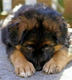 Wicked Training Your German Shepherd Dog Ideas. Mind Blowing Training Your German Shepherd Dog Ideas. Cute Baby Dogs, Cute Dogs And Puppies, Doggies, German Shepherd Puppies, Baby German Shepherds, Blue German Shepherd, Beautiful Dogs, Gorgeous Eyes, Simply Beautiful