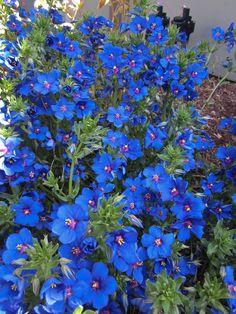 blue pimpernel, anagallis monelii