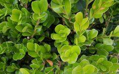 Wintergreen Boxwood - Buxus sinica var. insularis 'Wintergreen ...