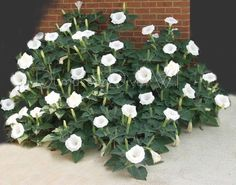 """White Datura  Angel's Trumpet  A fast growing annual excellent for cutting.Great for a moon/ night garden. The Datura Angel's Trumped has fragrant and showy Flowers that can reach over 6"""" across. garden, then Datura is the plant for you.The pale white blooms will glow well into the twilight and their sent is heavenly. .Th. DEER & RABBIT PROOF! Will take most any soil type and prefers full sun untreated seeds, all parts of the plant is poisonous"""