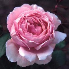 Lilac Rose - David Austin Roses