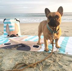 Totes & beach towels are back in the shop! And since we still have a few snowstorms in the mix before we can start hitting the beach here, we'll just live vicariously through our oh, so handsome buddy @vincenzopepito  // frenchbulldoglove.com #shopFBL #frenchbulldog #frenchie
