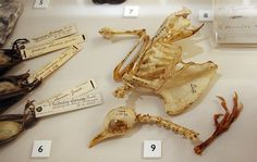 specimens from Charles Darwin's collection (photo by Dan Smith) - interesting labels, notes written directly on the bone